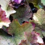 Heuchera leaves - actual colours.