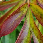 Peony leaves changing colour.