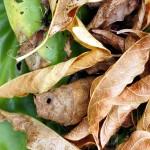 Fallen leaves, probably birch, on hostas.