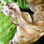 Curled up hosta leaf.