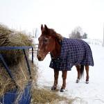 A mule.