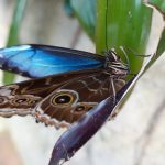 It was rare to see the blue inside this type of butterfly's wings.